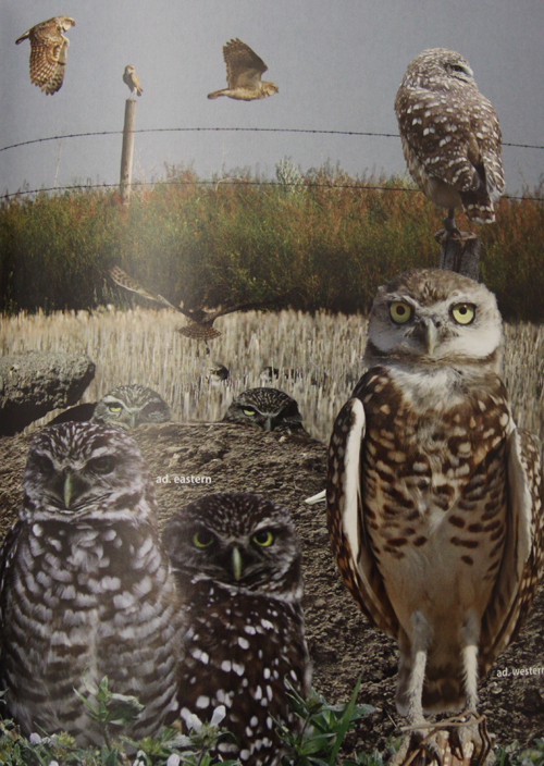 Crossley ID Guide Eastern Birds - Burrowing Owl
