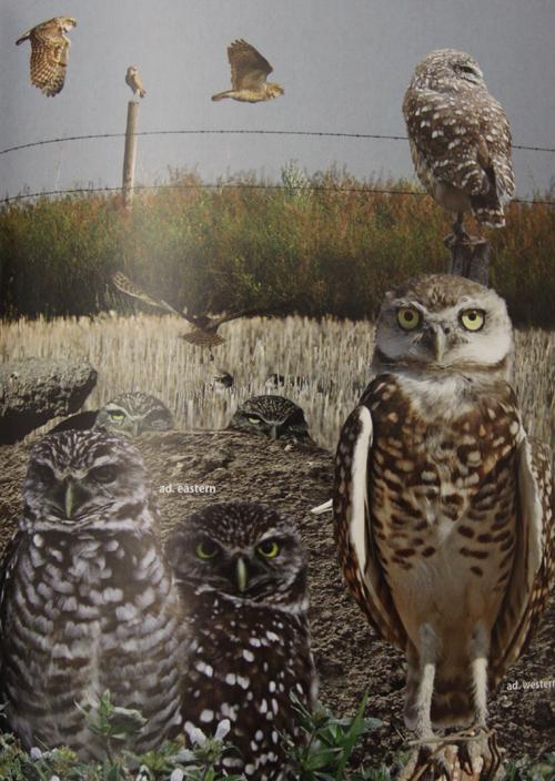 Crossley ID Guide Eastern Birds - Burrowing Owl