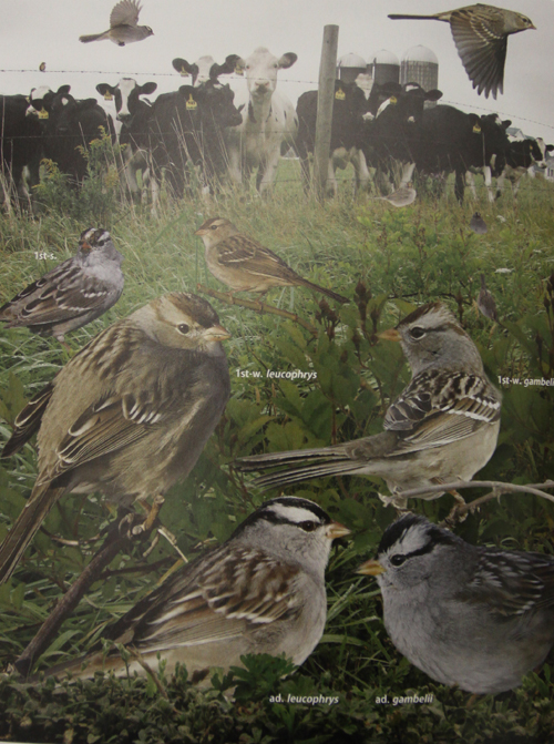 Crossley ID Guide Eastern Birds - White Crowned Sparrow
