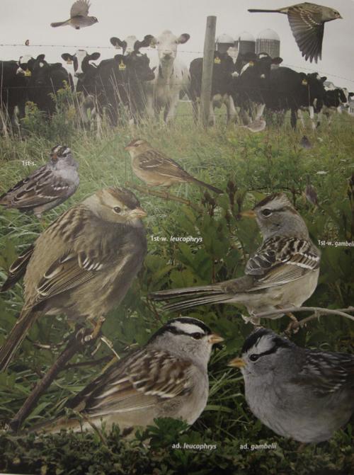 Crossley ID Guide Eastern Birds - White Crowned Sparrow