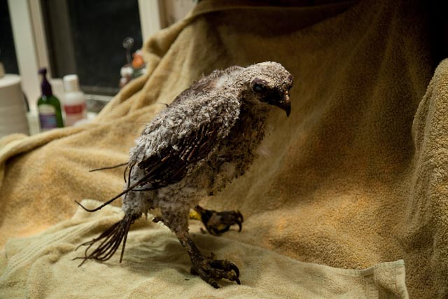 Phoenix the Red-tailed Hawk Injured From Plane Crash