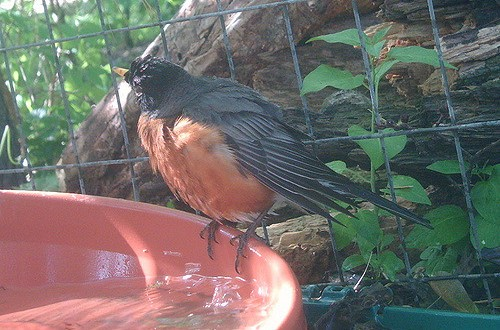 American Robin Bathing to Music