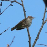 Illinois Migratory Thrushes