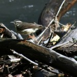 birdJam Helps ID Waterthrush