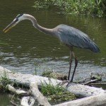 Citizen Science: Great Blue Heron