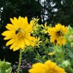 Prairie Plant Profile – Cup Plant