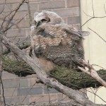 31 Cool Bird Facts #12 – Great Horned Owl