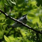 Citizen Science – Cerulean Warbler Atlas Project