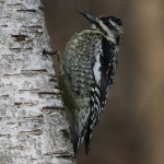 Video Wednesday – Yellow-bellied Sapsucker