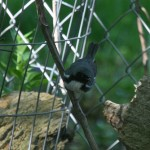 Phriday Photo – Black-throated Blue Warbler