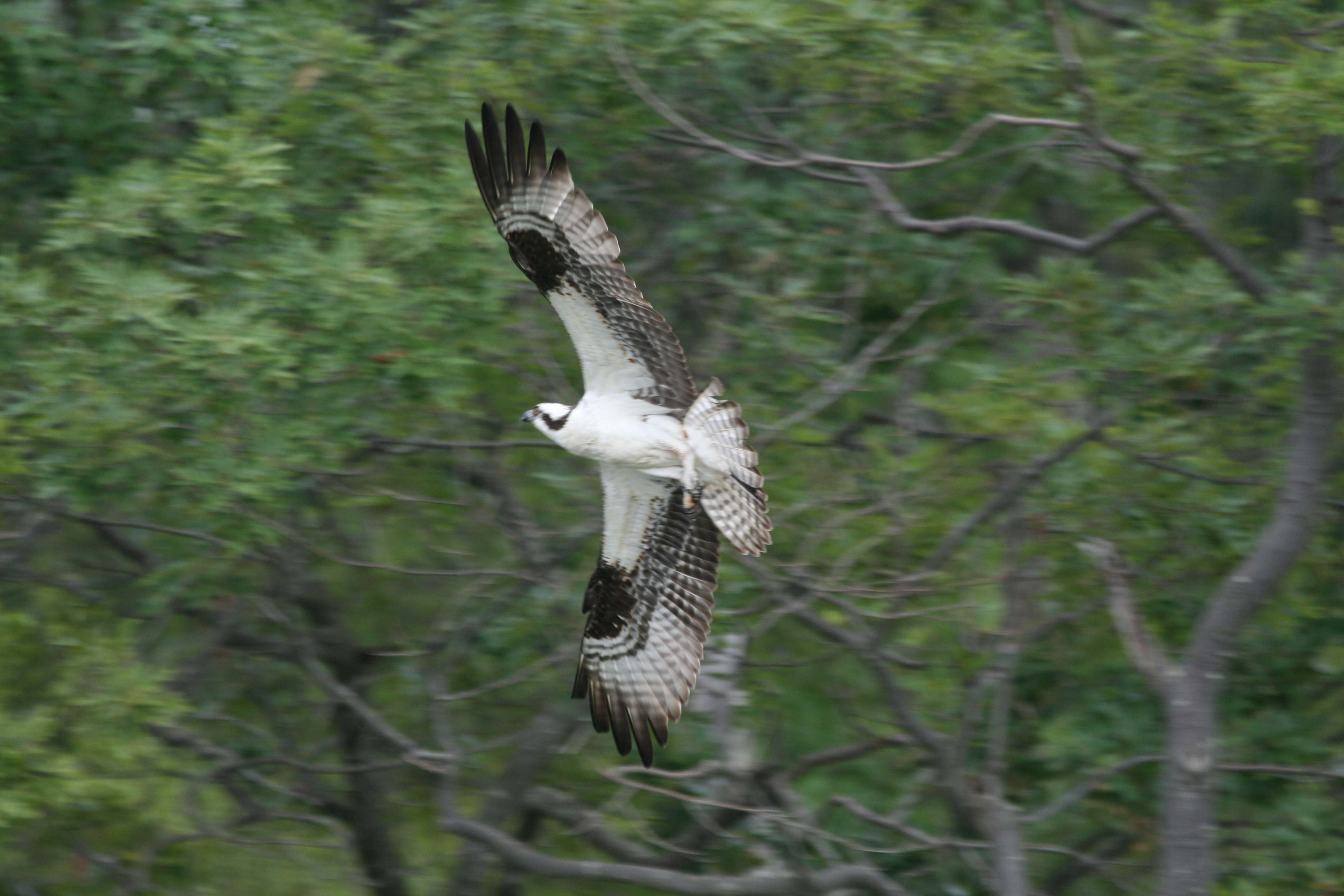 Osprey flying near Chesapeake Bay