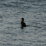 Awesome Common Eider Video