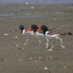 American Oystercatchers Digiscoped at South Beach on the Cape of Massachusetts