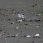 Piping Plover Photo Caption Contest
