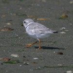 Bird Conservation – Piping Plover