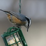 31 Cool Bird Facts #14 – Red-breasted Nuthatch