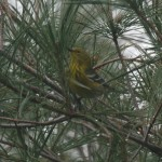 31 Cool Bird Facts #18 – Pine Warbler