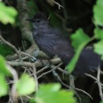 31 Cool Bird Facts #29 – Gray Catbird