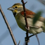 31 Cool Bird Facts #4 – Dickcissel