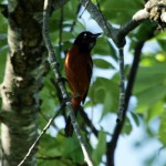 31 Cool Bird Facts #21 – Orchard Oriole
