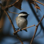 Phriday Photo – Black-capped Chickadee