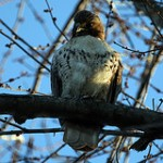 Simple Lesson From a Red-tailed Hawk