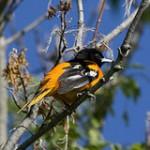 Illinois Spring Bird Count Database