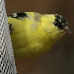 Phriday Photo – American Goldfinch Transformation