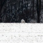 Where is My Snowy Owl?