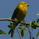 Ohio Young Birders – Biggest Week in American Birding