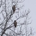 Phriday Photo – Two Hawks and a Dog