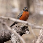 Phriday Photo – Springy Robins