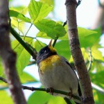 It's Raining Warblers at Magee Marsh