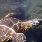 Swimming With Honu (Hawaiian Green Sea Turtle)