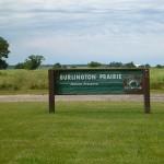 Burlington Prairie – Dickcissels