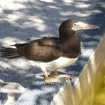 Phriday Photo – Brown Booby