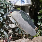 Phriday Photo – Black-crowned Night-heron at Suncoast Seabird Sanctuary