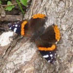 Red Admiral and a Shooting Star