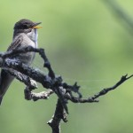 Phriday Photo – Eastern Wood-Pewee Singing His Heart Out