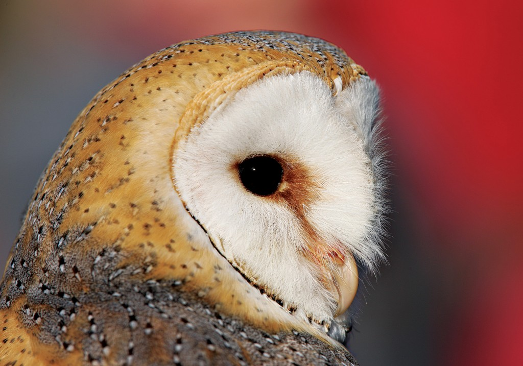 Barn Owl - National Geographic