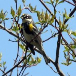 The Biggest Week in American Birding – 2013