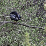 Illinois Spring Bird Count – 2013