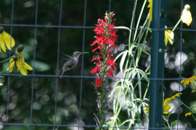 ruby-throated hummingbird feeding on cardinal flower