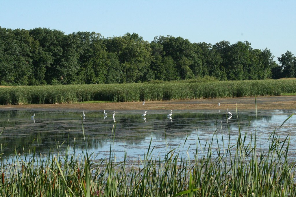 Great Egrets at Horicon Marsh NWR