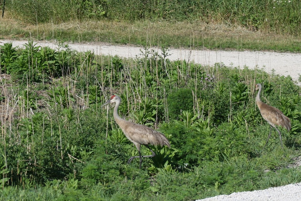 Sandhill Cranes at Horicon Marsh National Wildlife Refuge