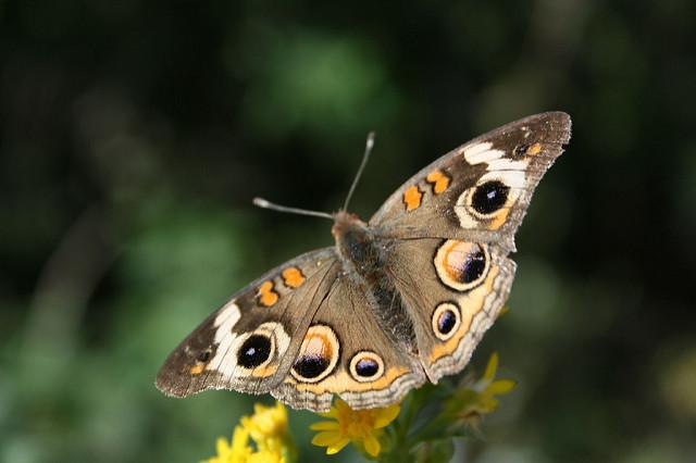 birdscaping for butterflies