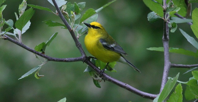 Birdscaping can lead to attracting blue-winged warblers