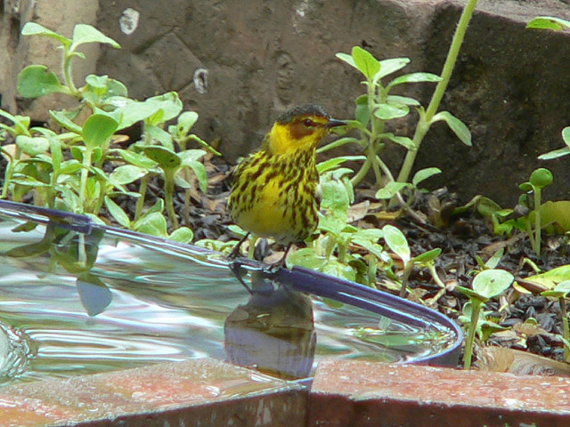 Cape May Warbler at bath