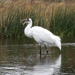 Midwest Crane Count – 2016
