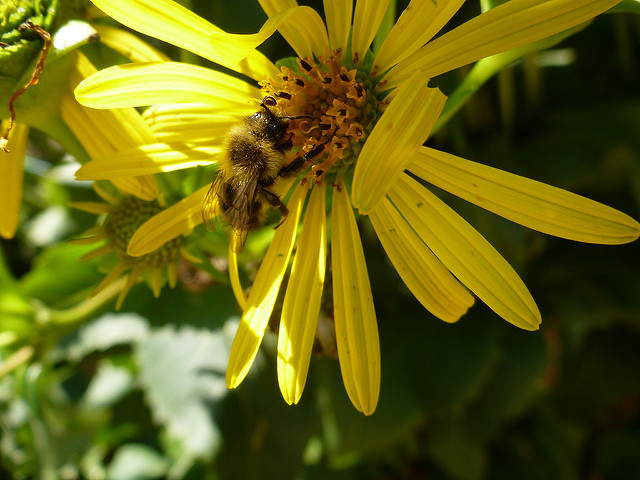 bee on native plant